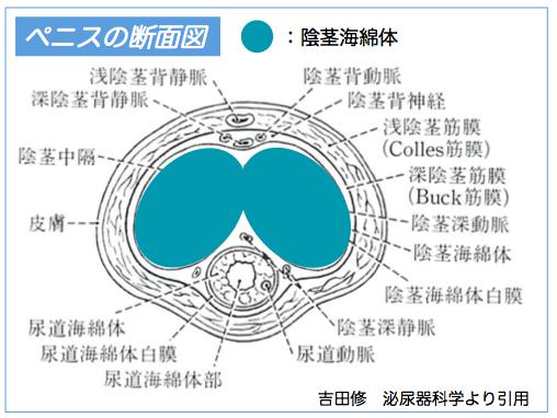 陰茎海綿体説明図