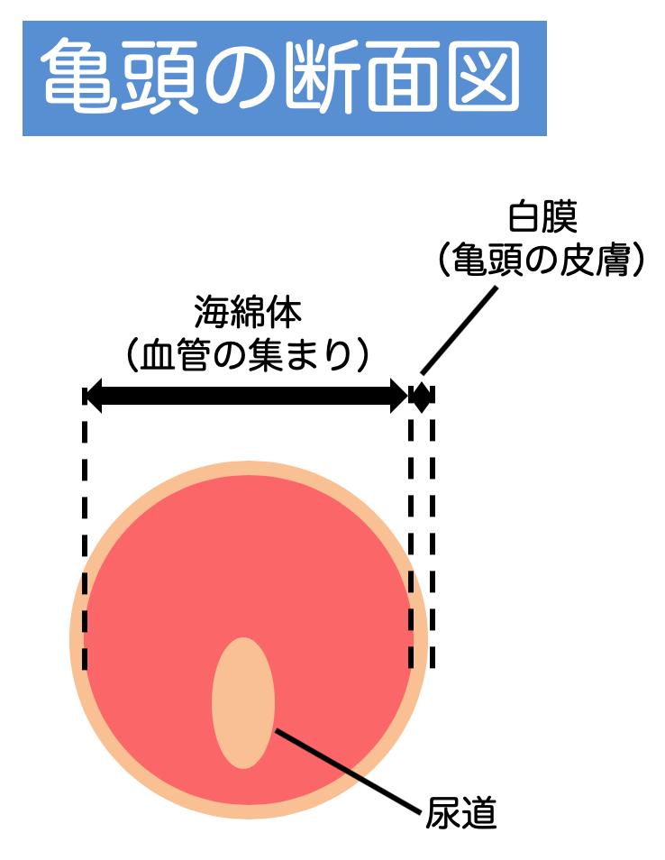 亀頭の断面図